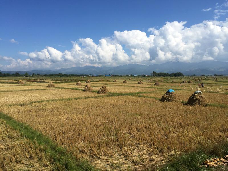 colheita-de-arroz_eusouatoa